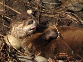 dreaming otter by Glacierman54
