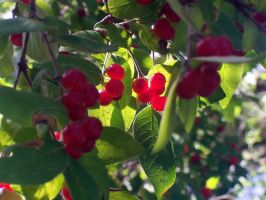 Some Red Berries in the Wild by mulletrobz