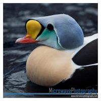King Eider Duck by MicrowaveOven