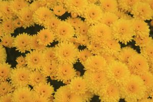 mums by Laur720