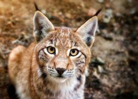 Who are you? - Lynx Cub by Manu34