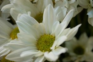 daisy by geographicgeorge