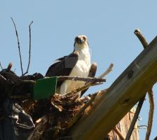 Osprey Staring At Me by Letohatchee
