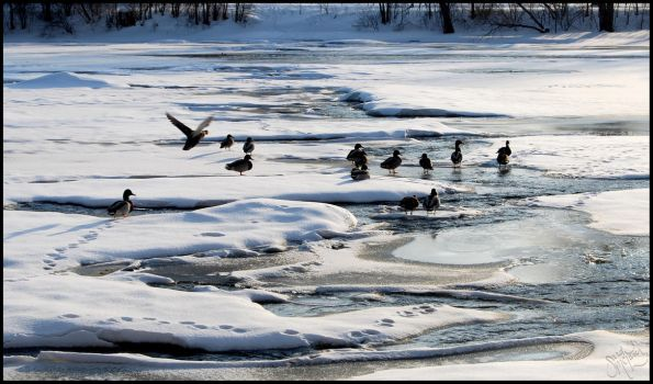 Ducks on a Frozen River 1 by almightyblah