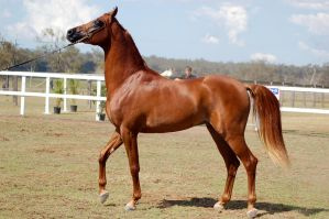 GE Arab chestnut walk head up sideview by Chunga-Stock