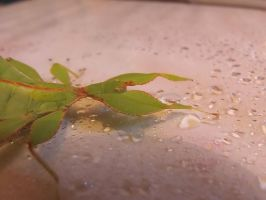 Leaf Insect by EquinoxialSolstice