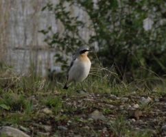 Wheatear by D1scipl31974