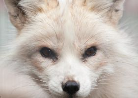 Polar Fox by PenguinPhotography