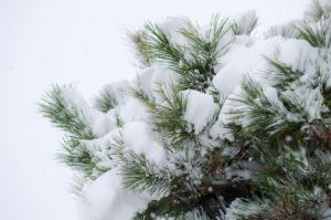 Snowed Pines by taeliac