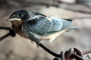 Young Barn Swallow by DargonXKS