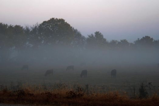 Cattle in the Fog by thayssharumrn