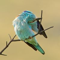 Some birds just bend over backwards for me - Europ by Jamie-MacArthur
