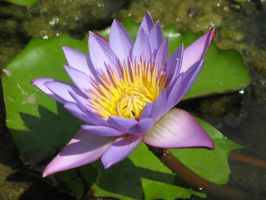 Water lily 1918 by fa-stock