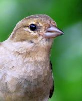 An Inquisitive Chaffinch by gris379