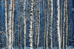 Birch forest by dSavin