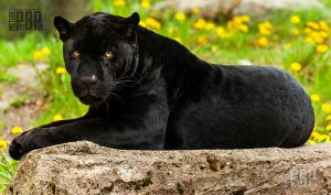 Male Jaguar by PictureByPali