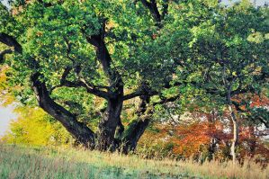 Belvoir Ancient Oak Tree by Gerard1972
