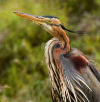 Don't move a muscle - Purple Heron by Jamie-MacArthur