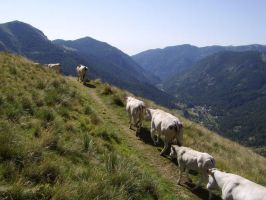cows near Colle del Sabbione by FraterSINISTER