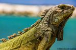 Green Iguana by Tasha0228x