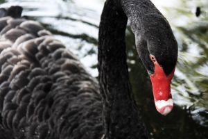 Black Swan by Purple-Ephemerality