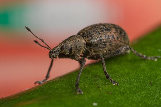 Weevil by Azph
