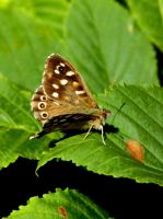 Speckled Wood Butterfly by Tinap