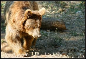 Syrian bear II by moem-photography