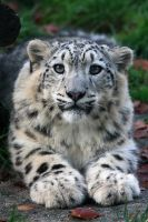 Snow leopard. by TomLuk