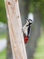woodpecker by ArkanumTenebrae