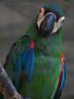 Blue Parrot by gracek