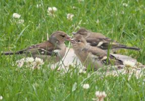 Chaffinch Family by YunaHeileen