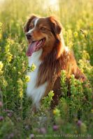 Toffee against the light by Partridge-PetPics