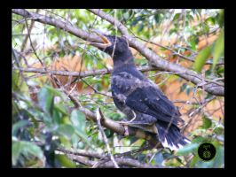 Currawong chick 4 by Ranger-Roger-Reserve