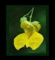 Pale Jewelweed by barcon53