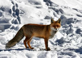 Fox in the Snow 6 by FarStar90