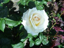 White Rose IIII by robynx13