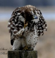 Scratching Hawk good sheri ann by Sheriannphotography