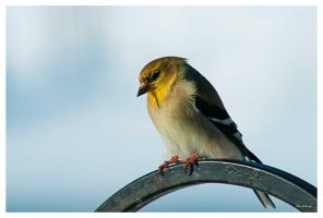 Finch 2388 by PeterDeBurger