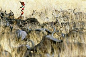 Carmine Bee-Eaters and Buffaloes by mpoliza