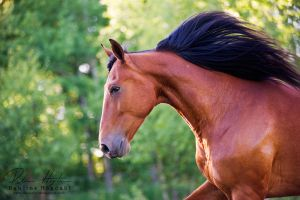 Standardbred portrait by Colourize