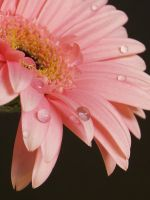 Crying Gerbera by Stolte33