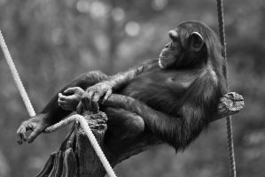 Chimpanzee by attomanen