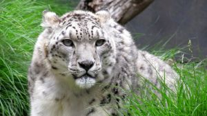 Snow Leopard - 1 by shonechacko