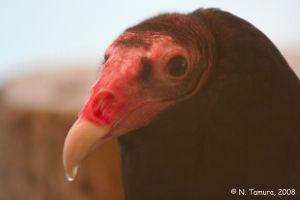 Turkey Vulture by NTamura