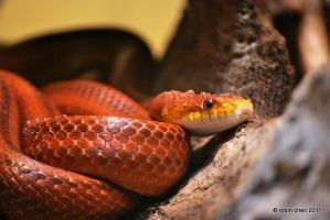 Everglades Ratsnake by meihua