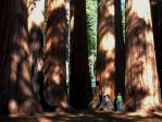 A Stand of Sequoia Trees by mit19237