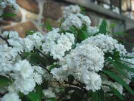 White Flower Bush by livelovelennon