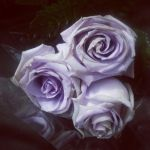 Violet roses by NorthAngel