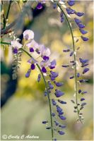Japanese Wisteria II by CecilyAndreuArtwork